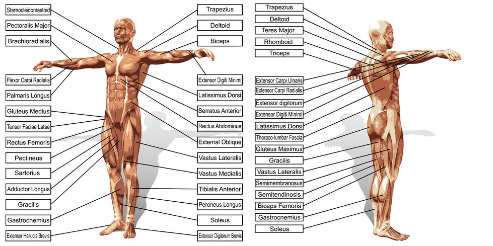 An Overview of the Body\'s Major Muscles Groups