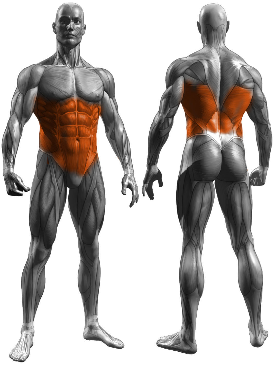 pallof press muscles used